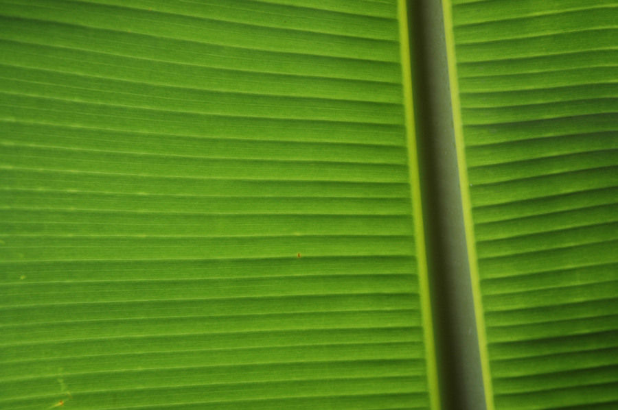 Banana Leaf, Kauai, Hawaii, © Sue Rosoff, All Rights Reserved : Pacific : Sue Rosoff Photography