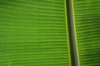 Banana Leaf, Kauai, Hawaii, © Sue Rosoff, All Rights Reserved