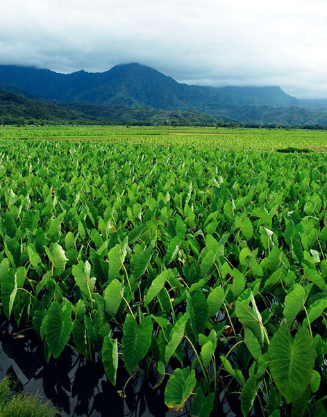 Taro Field At Hanalei, Kauai, Hawaii, © Sue Rosoff, All Rights Reserved : Pacific : Sue Rosoff Photography